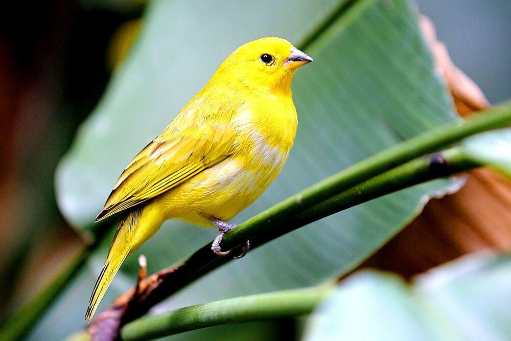 Ein Kanarienvogel hat eine hohe Lebenserwartung