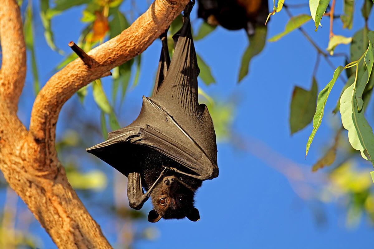 Waren Fledermäuse und Flughunde des Vorbild für den Vampirmythos?
