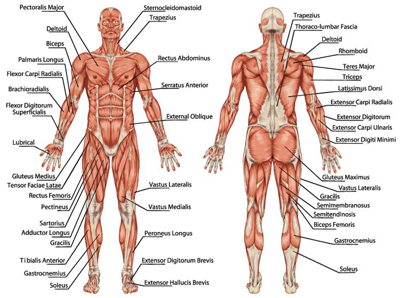Muskelgruppen des menschlichen Körpers
