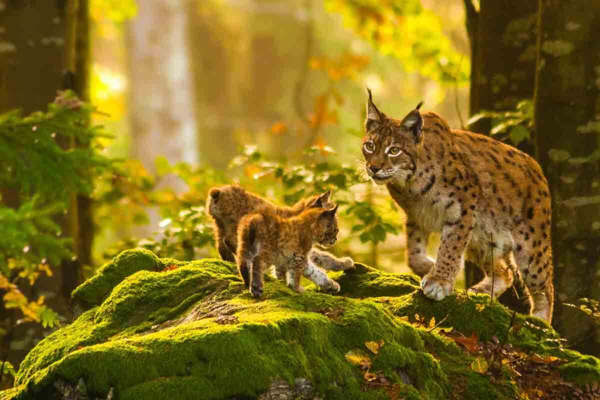 Baby-Luchse mit Mutter