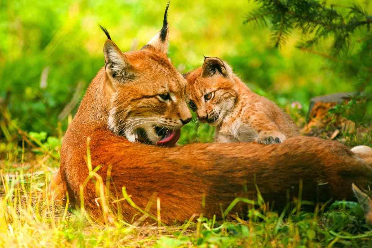 Europäischer Luchs - Mutter mit ihrem Jungen