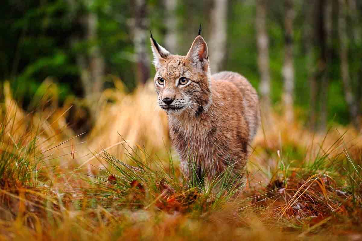 Europäischer Luchs auf der Jagd