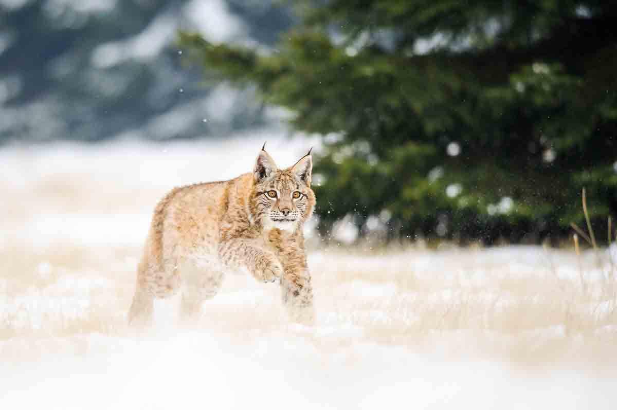 Europäischer Luchs läuft durch den Schnee