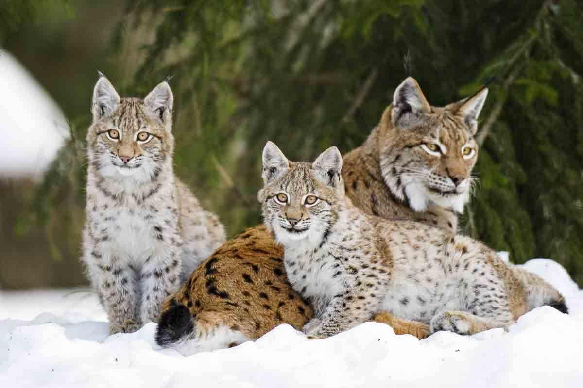 Luchs-Familie im Schnee