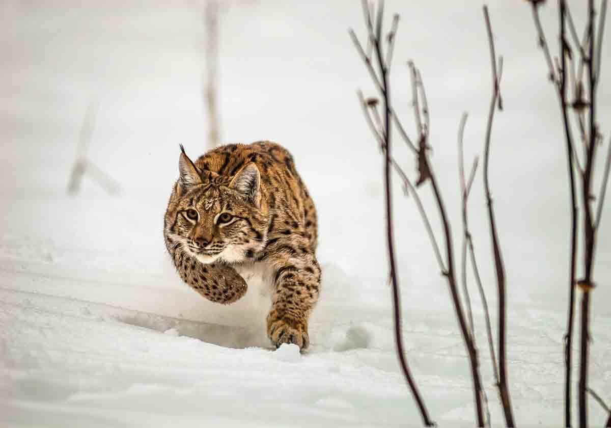 Karpatenluchs auf der Jagd