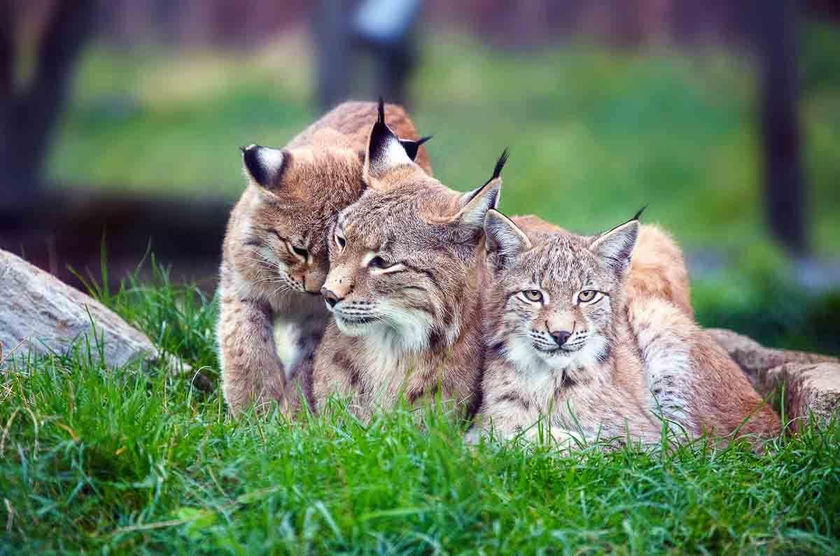 Luchs-Familie