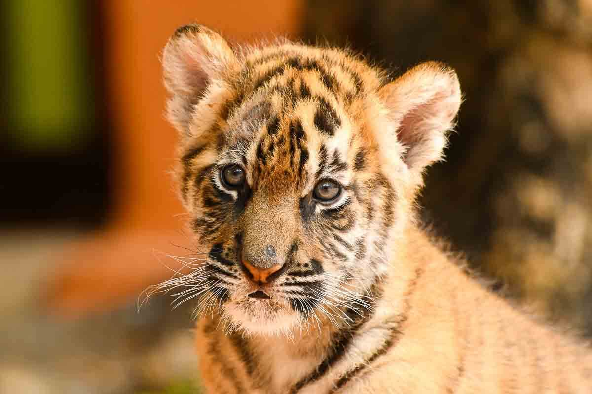 Tiger-Baby