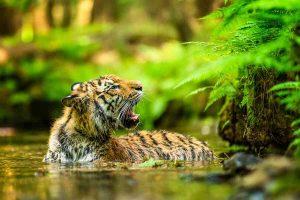 Tiger Geschwindigkeit